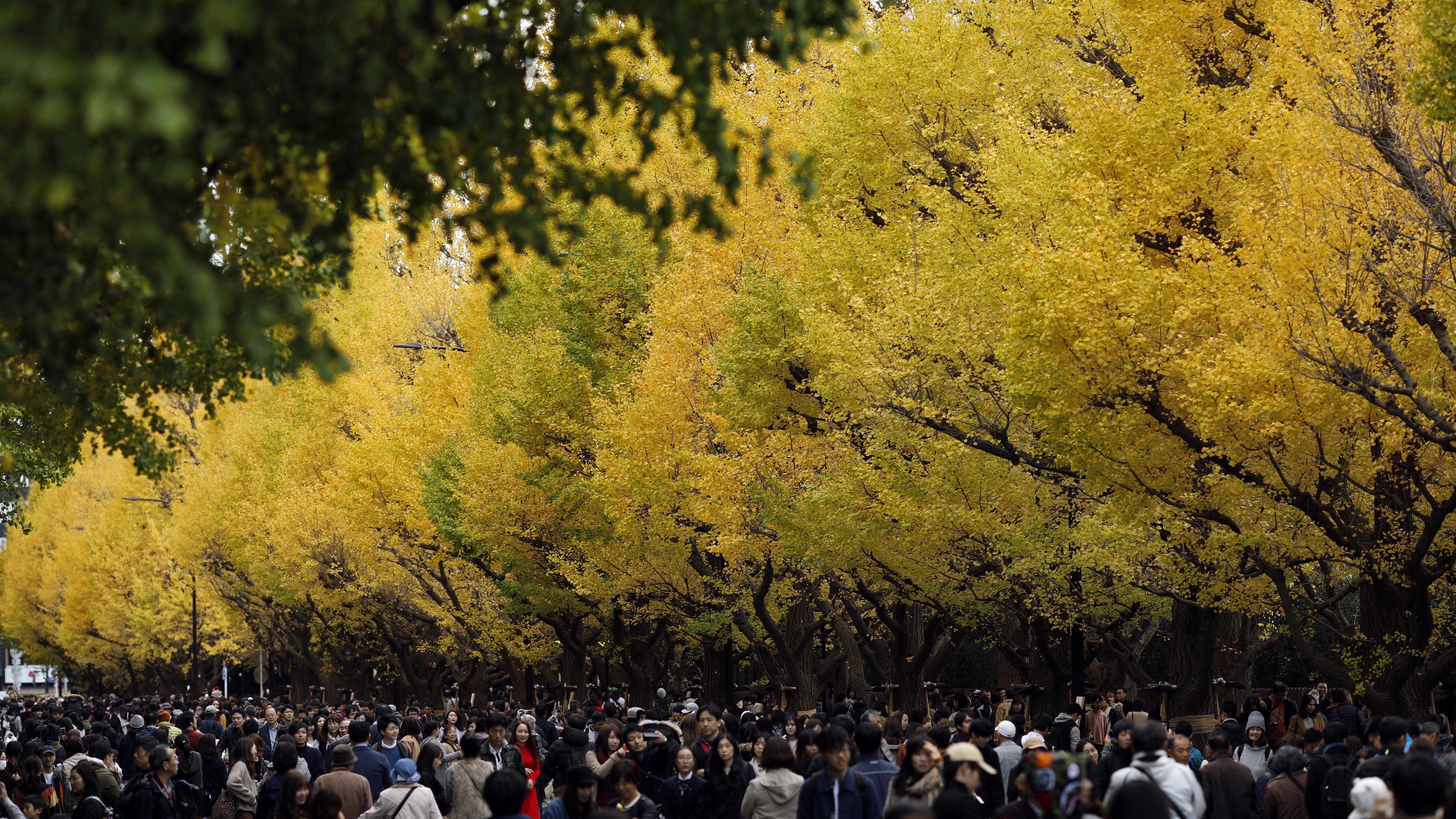 Хора се разхождат под есенния цвят на дървета от вида Гинко билоба в Токио, Япония. Жителите и гостите на столицата се наслаждават на сезонната промяна на цветовете на листата на Гинко през есента всяка година, когато листата се оцветяват от лятно зелено в есенно жълто