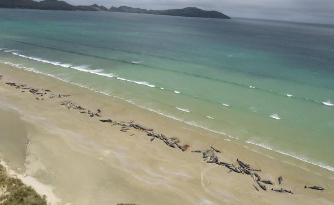 Необяснимо: Близо 150 кита умряха в Нова Зеландия
