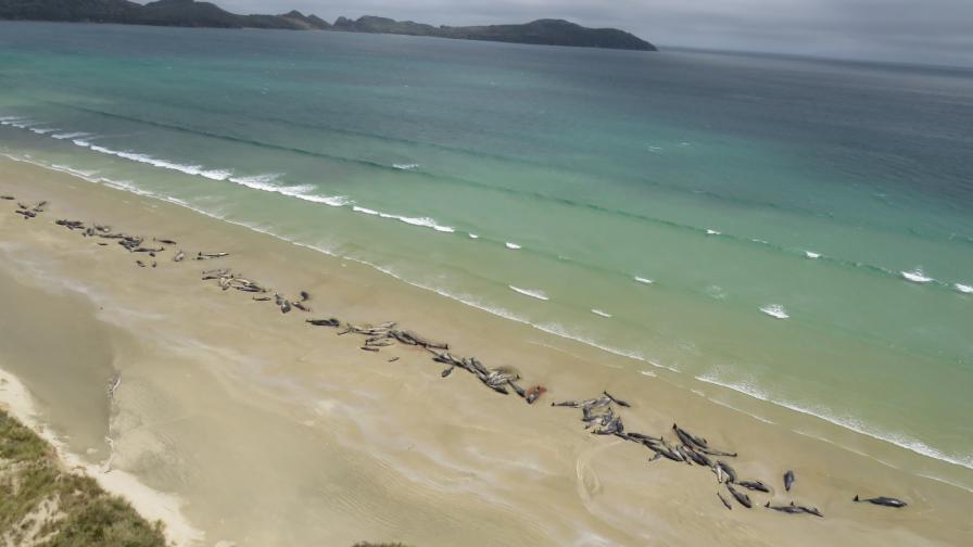 <p>Необяснимо: Близо 150 кита умряха в Нова Зеландия</p>