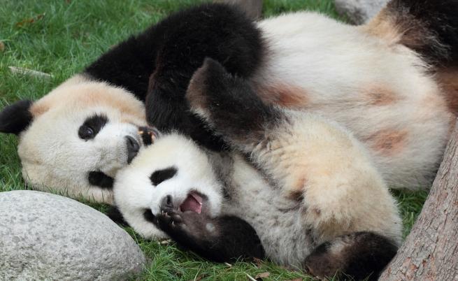Жестоката истина: какво става, когато панда роди близнаци