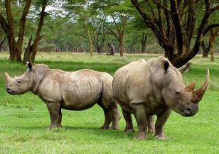Спасяването на белия носорог