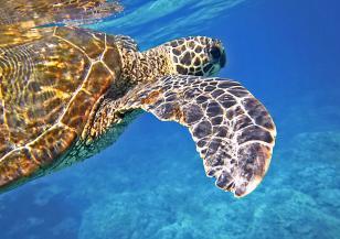 Откриха жив представител на смятан изчезнал вид костенурки