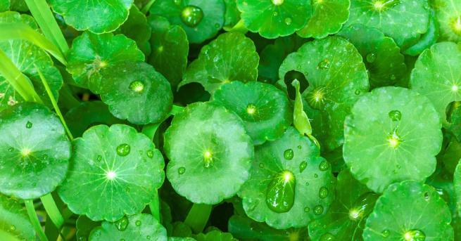 Готу Кола или както още я наричат азиатска центела, ерастение,