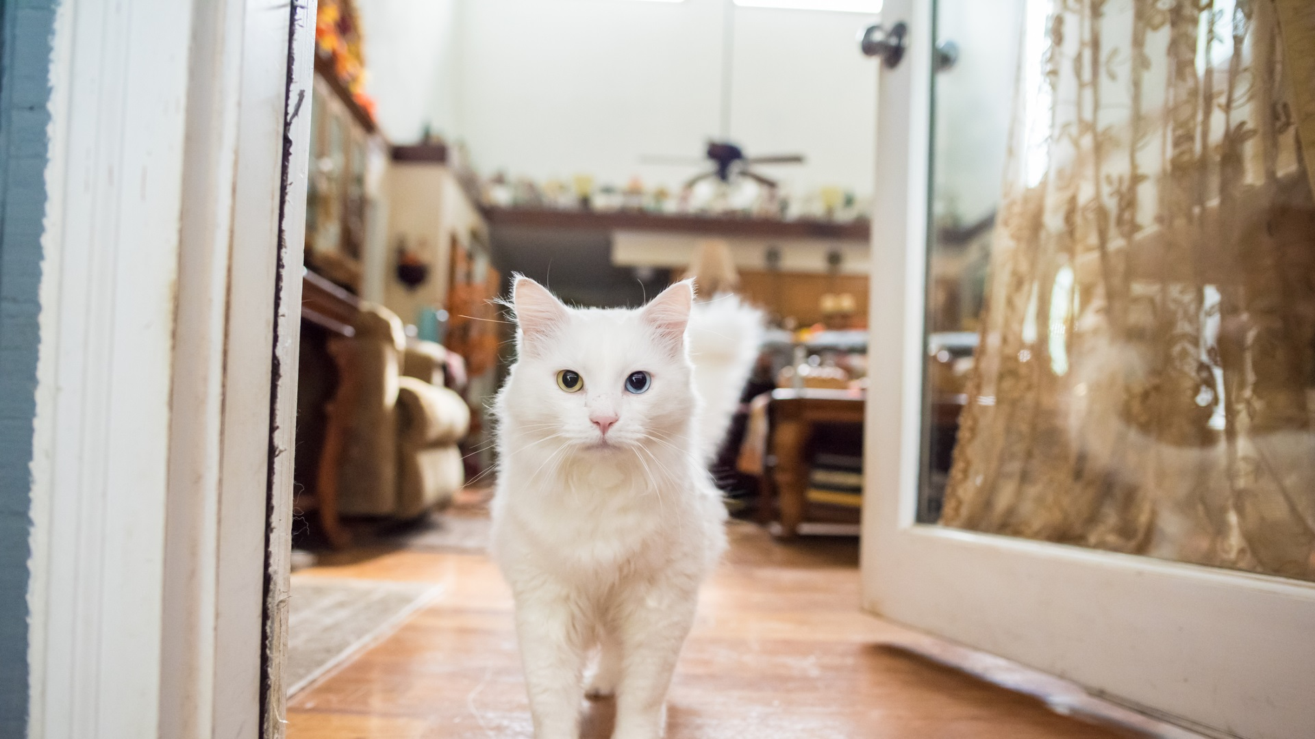 Коте с витилиго смени цвета си