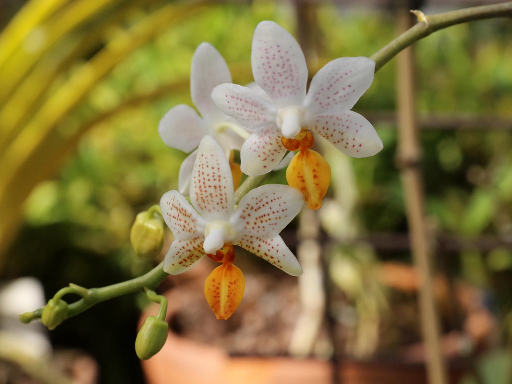 От 2 до 30 март 2019 г..в Ботаническа градина при Българска академия на науките (в подножието на Витоша), изобилие от цветове на цимбидиуми, венерини пантофки, благородни и други дендробиуми, орхидеи пеперуди и др.