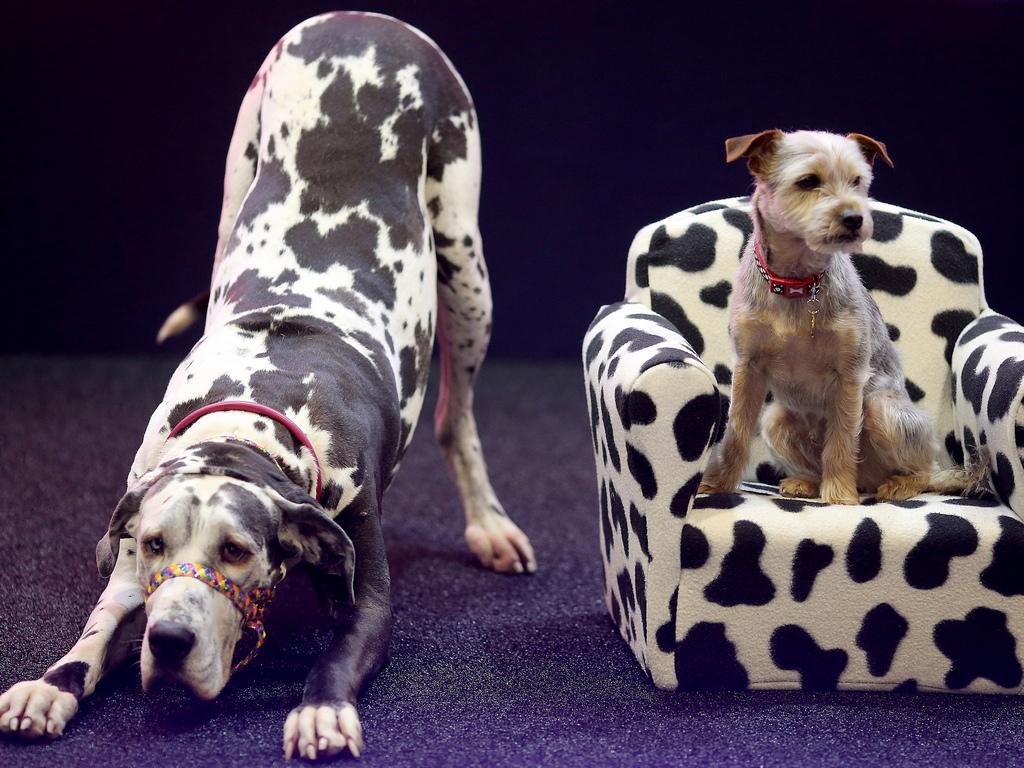 Най-мащабното международно изложение за кучета, Crufts се провежда от 7 до 10 март с 22 000 кучета, които се съревновават за световната титла Crufts Best In Show<br />