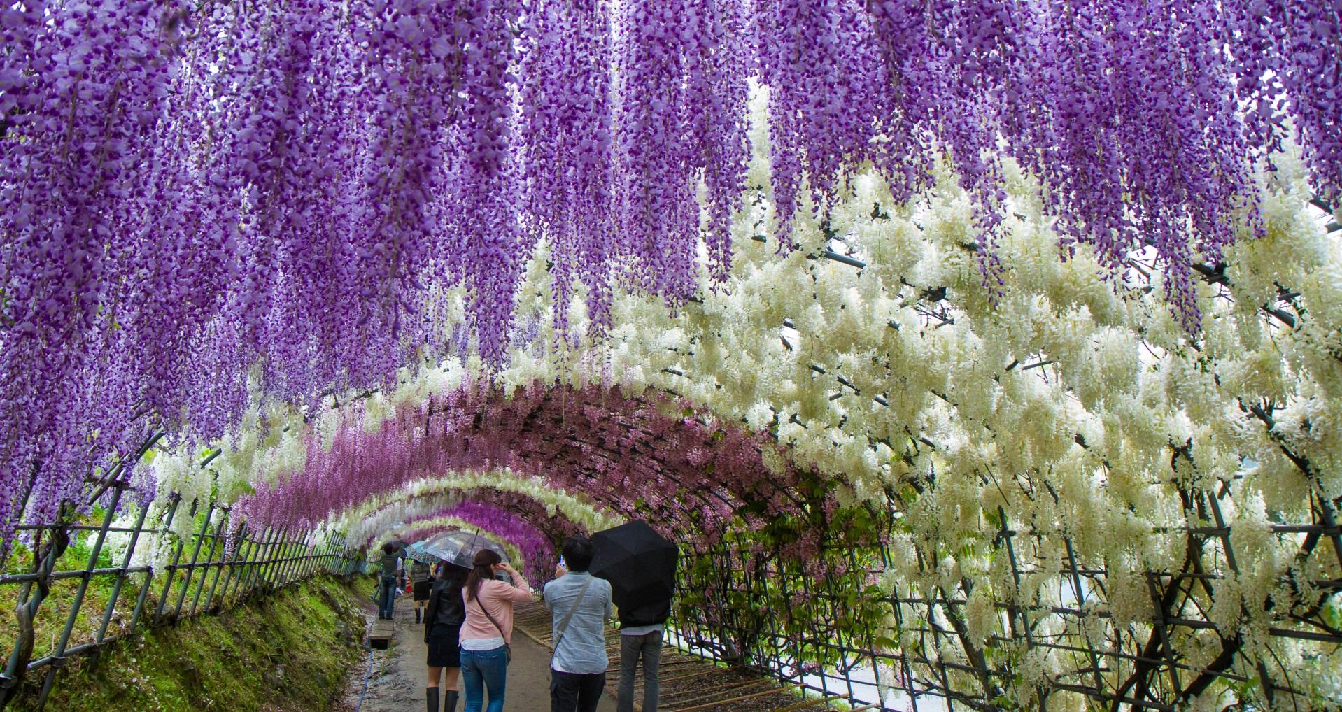 Цветният тунел в градината Кавачи Фуджо в Япония.