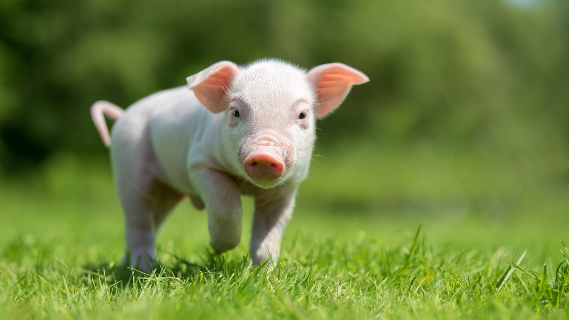 """Прасе, Кентъки (Pig, Kentucky)<br /> <br /> Имаето на града е избрано след сериозни диспути и множество предложения. Накрая местен жител казал, че е видял малко прасе на пътя. Името """"Прасе"""" веднага било прието."""