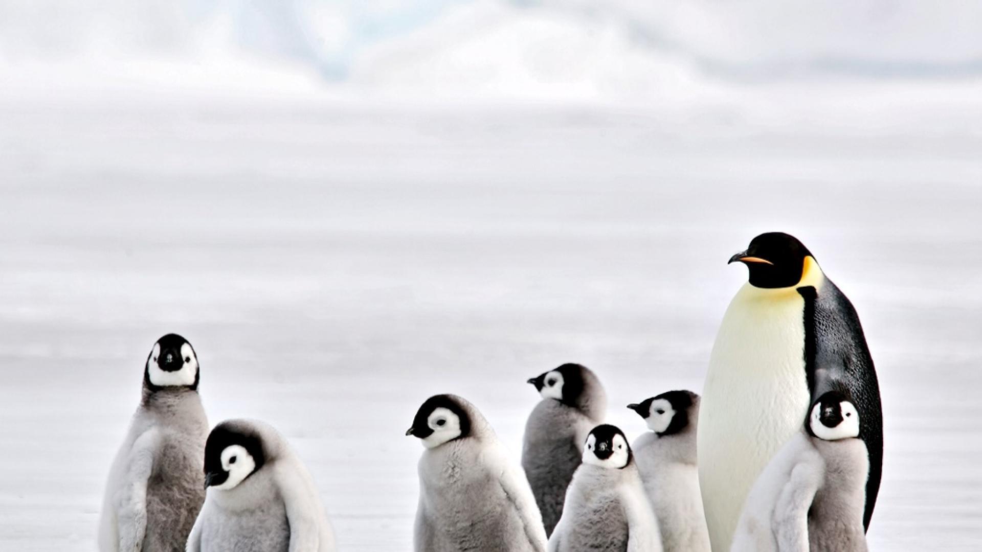 Защо хиляди бебета пингвини измират три поредни години?