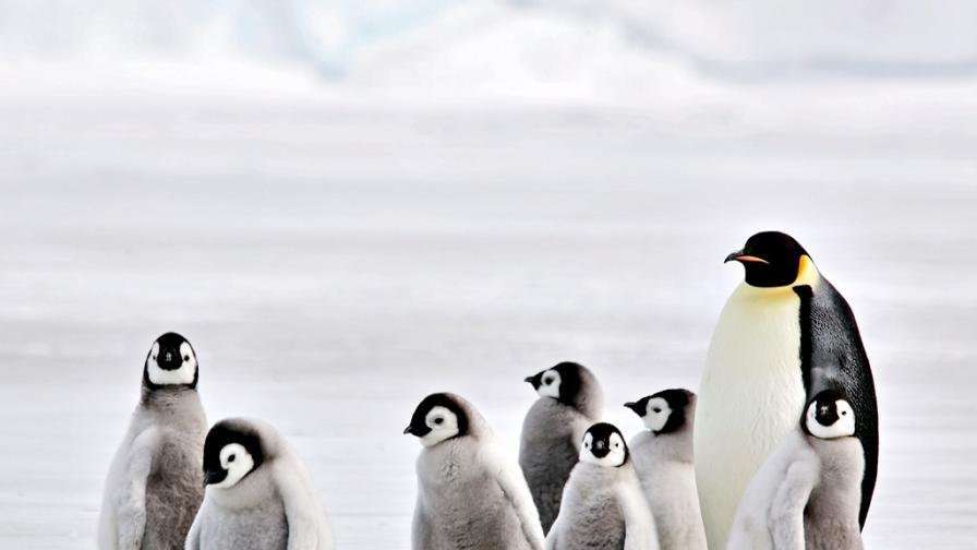 <p>Защо <strong>хиляди бебета пингвини измират</strong> три поредни години?</p>