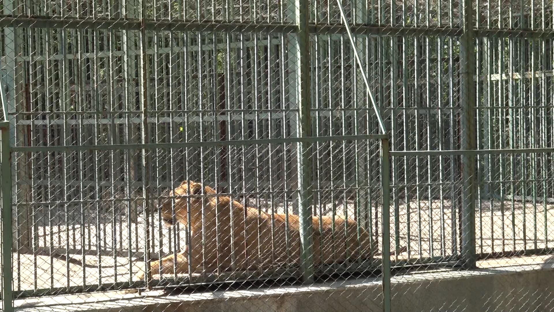 """13-годишната лъвица Петя в малките часове на 1 май ражда двете си рожби. Рано сутринта пристига ветеринарният лекар, който установява, че всичко е наред. Близо 24 часа след раждането майката не ги е захранила. Двете лъвчета били на страни и изпаднали в хипотермия. """"Веднага извикахме ветеринарния доктор Инджов от клиниката в Димитровград, когато ги взе докторът бяха живи, но в последствие едното почива после и другото"""", разказа шефът на Зоокът """"Кенана"""" Валентин Ахтаров"""