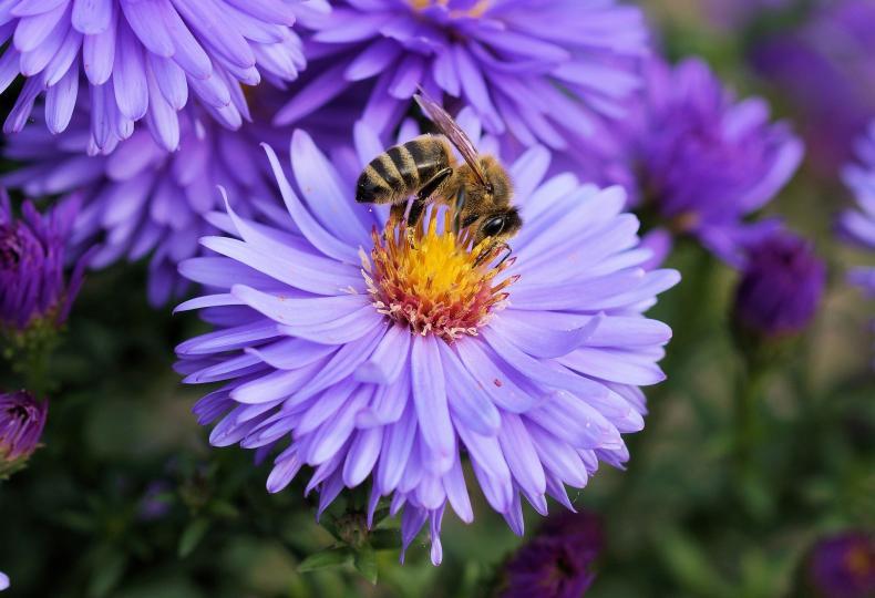 <p><strong>Ухапване от пчела </strong>-&nbsp;Пчелите умират, след като ви ухапят.&nbsp;Това е така, защото заедно с жилото тя оставя в кожата и храносмилателния си тракт.&nbsp;Ето защо е много лесно да се разпознае ужилване от пчела.&nbsp;Спешно трябва&nbsp;да се премахне жилото, така че отровата да не попадне в кръвния поток.&nbsp;Ухапването от пчели&nbsp;е на второ място сред причинителите на&nbsp;анафилаксия.&nbsp;Ако имате задух, понижено кръвно налягане, дишането е нарушено - обадете се на линейка.</p>  <p>Веднага се отървете от жилото.&nbsp;По-добре е да го направите със стерилни пинсети или чисти дезинфекцирани ръце.&nbsp;Важно е да не остават остатъци под кожата.&nbsp;В противен случай и ако мръсотията попадне в раната, възпалението е неизбежно.&nbsp; Напоете чиста кърпа или марля с амонячен или етилов спирт, оцет, разтвор на сода или калиев перманганат.&nbsp;Прикрепете към раната.&nbsp;Задръжте там&nbsp;възможно най-дълго, възможно е повторение.&nbsp;Това намалява болката, дезинфекцира и забавя развитието на оток.&nbsp;</p>