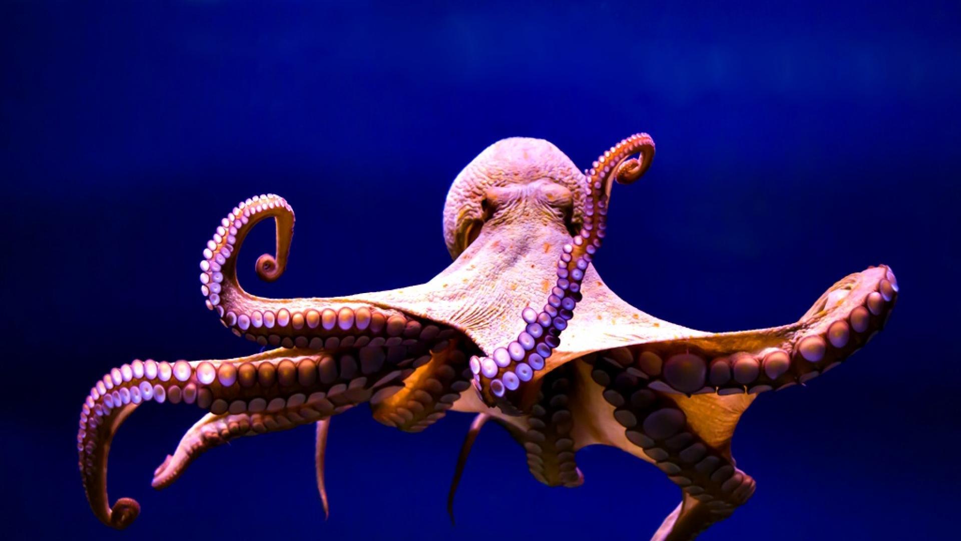 Защо да отглеждаме октоподи във ферми не е добра идея