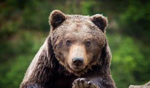 Мечка нападна, но пощади ловец в Стара планина