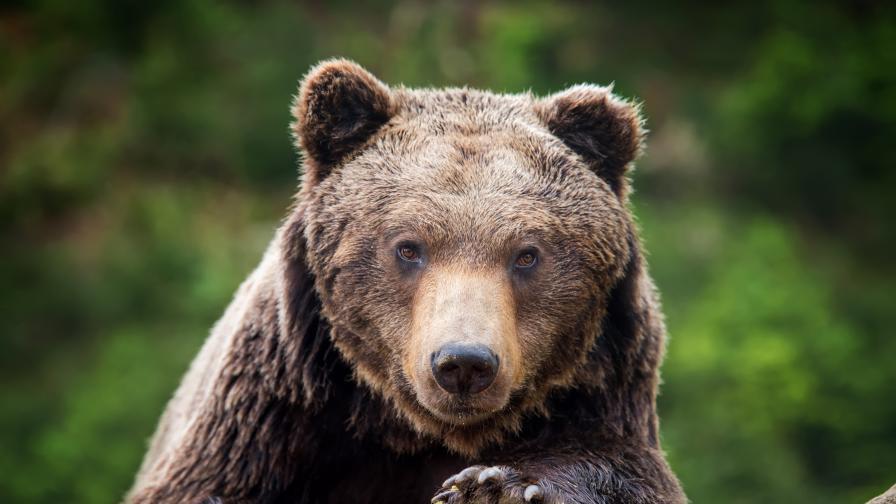<p>Внимавайте на Витоша, може да срещнете мечка</p>