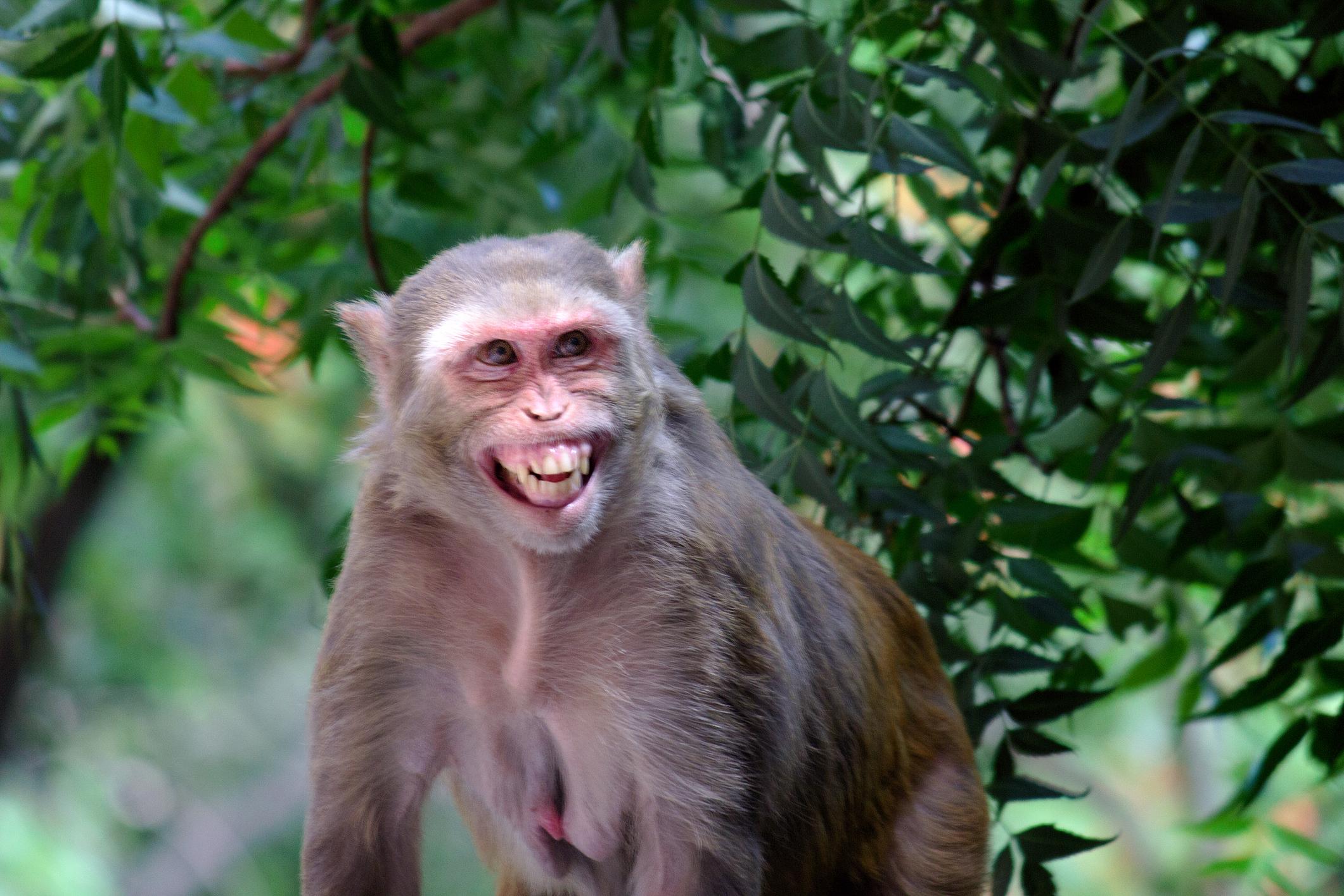 <p>Маймуна от вида Резус Макак в продължение на 3 години успява да се измъква на щатските власти, докато накрая я залавят във Флорида през 2012 г.&nbsp;</p>