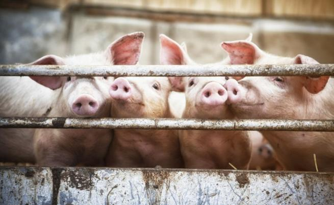 Протестиращи свиневъди с отворено писмо до Борисов