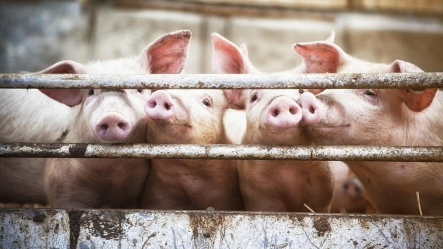 БСП поиска оставки за свинската чума, ГЕРБ: Да не политизираме