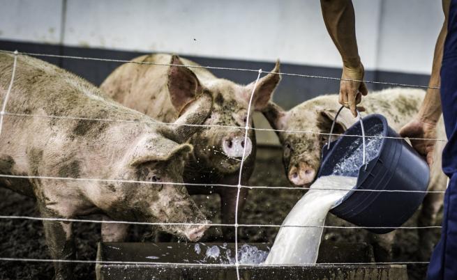 87 хил. прасета трябва да бъдат евтаназирани в Русенско, сигнал за болно животно и във Видин
