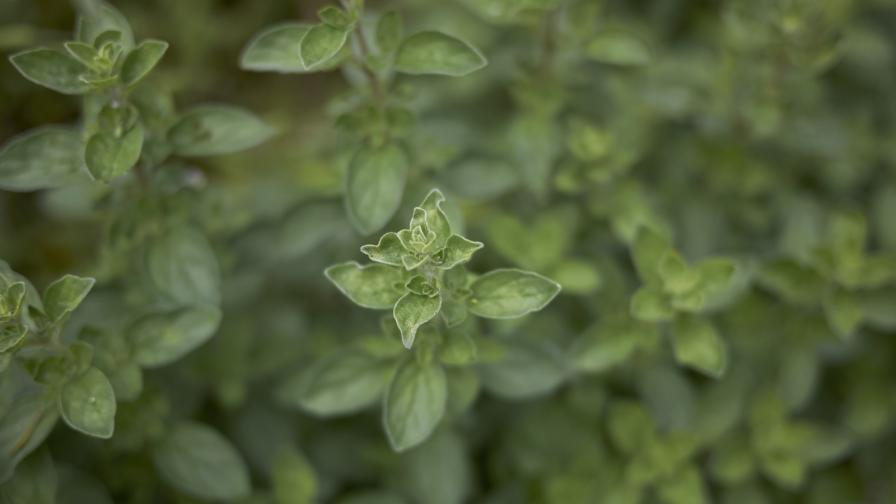 <p><strong>Майорана</strong> - за какво може да ни бъде полезно това растение</p>