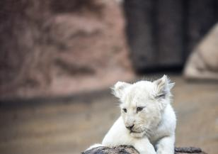 Във Франция се родиха редки бели лъвчета
