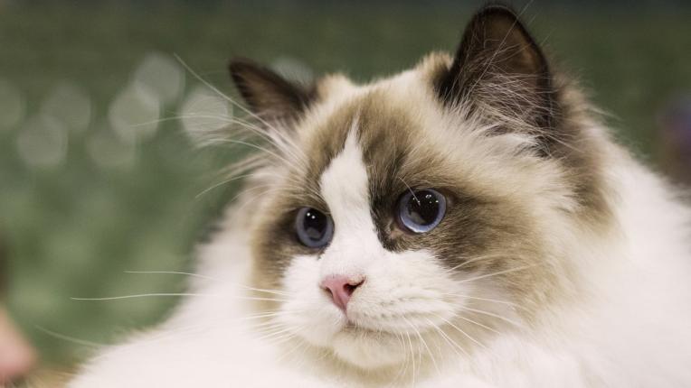 Регдол - най-красивата порода котки