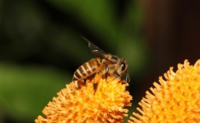 Рояк от 40 хиляди пчели нападна Калифорния