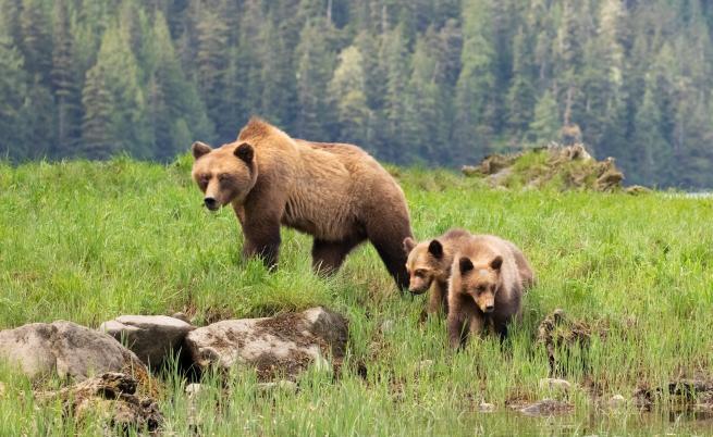 CNN: Измършавели мечки гризли в Канада, още жертви на климатичните промени