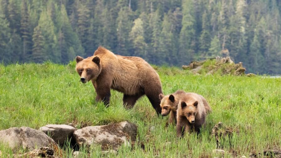 <p>Измършавели мечки гризли -&nbsp;жертви на климатичните промени&nbsp;&nbsp;</p>