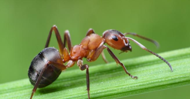 Любопитно Това са най-бързите мравки в света Те постигали скорост,