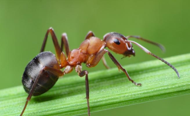 Това са най-бързите мравки в света