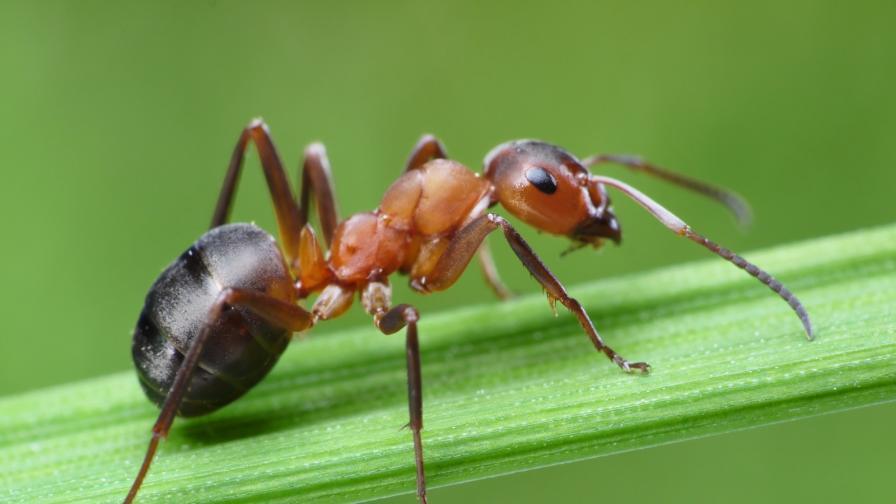 <p><strong>Уникално:</strong> това са най-бързите мравки в света</p>