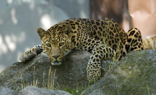 В Русия: Леопардът, който се смята за домашна котка
