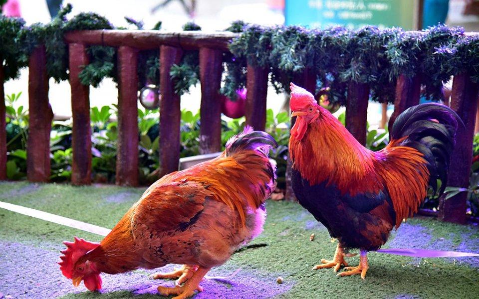Червен картон за убита кокошка на терена (+18 видео)