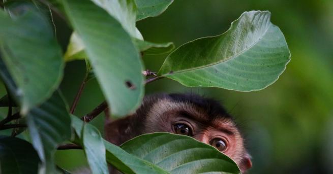 Любопитно В Малайзия: Маймуни живеят като женени, ходят на ресторант,