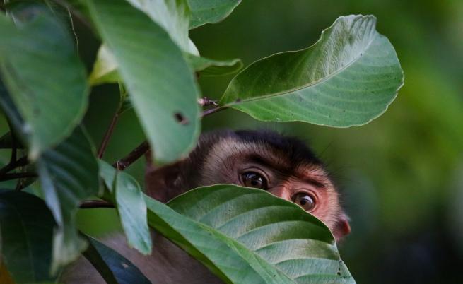 В Малайзия: Маймуни живеят като женени, ходят на ресторант, сърфират в интернет