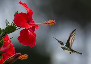 Как оцеляват колибритата