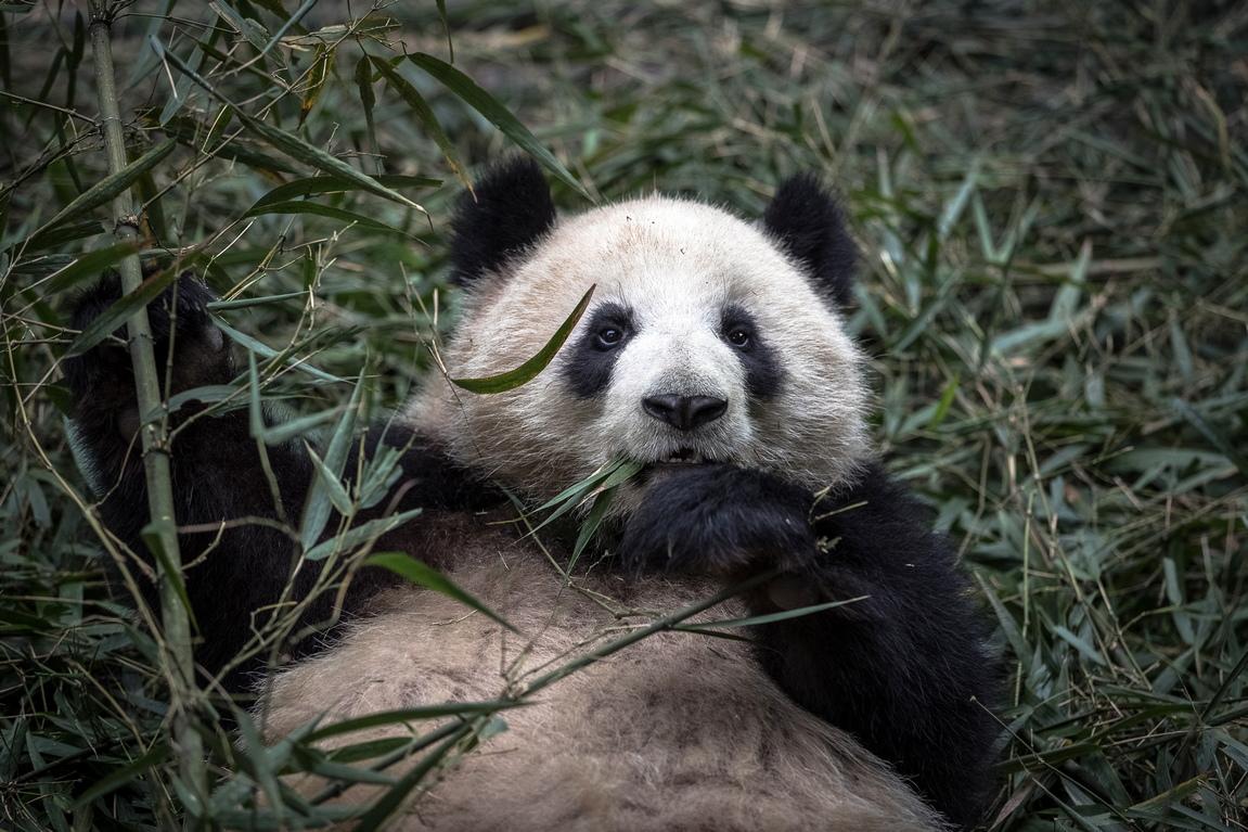 <p>Според Световния фонд за природата (WWF) последното преброяване на населението през 2014 г. установи, че в природата са живи 1864 гигантски панди</p>