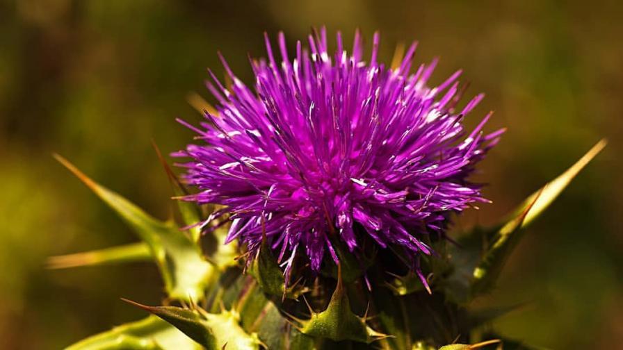 7 ползи от билката без аналог – Магарешки бодил