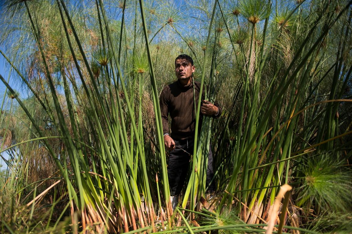 <p>Производственият процес включва отрязване на растението, обелване и нарязване на пръчките</p>