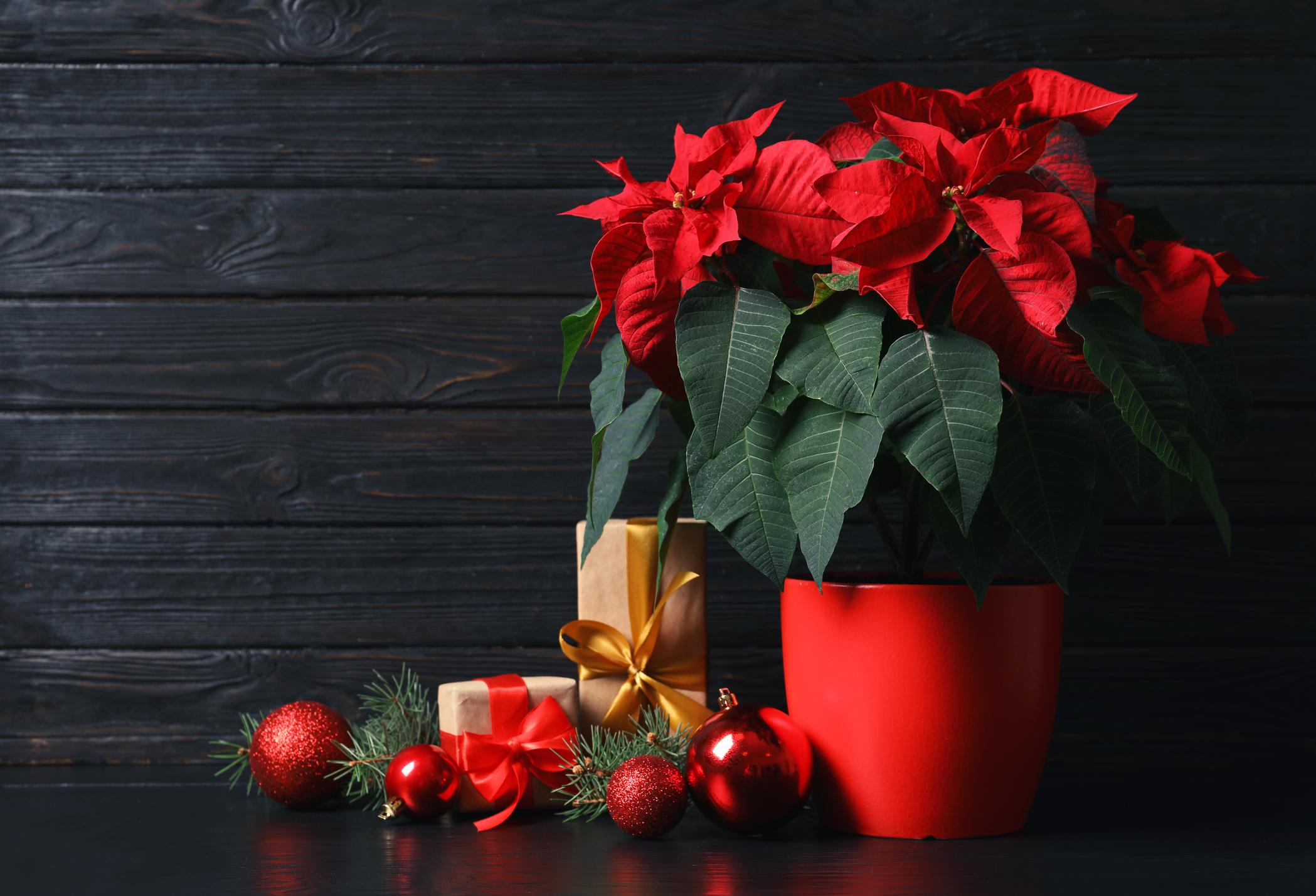 <p>Коледна звезда</p>  <p>Това цвете е един от най-големите символи на празника и същевременно създава пролетно настроение. Подобен подарък би бил най-подходящ за близък до вас човек, който обича цветята и си отглежда всички възможни растения у дома. А коледната звезда ще напомня за това, че познавате и харесвате човека такъв, какъвто е.</p>