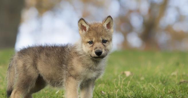 """Любопитно Учени: Бебетата вълци също играят на """"донеси топката"""" Малките"""
