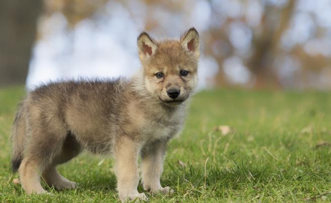 """Учени: Бебетата вълци също играят на """"донеси топката"""""""