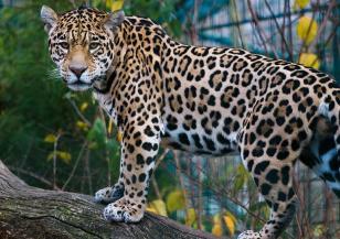 Ягуарите – грациозните убийци