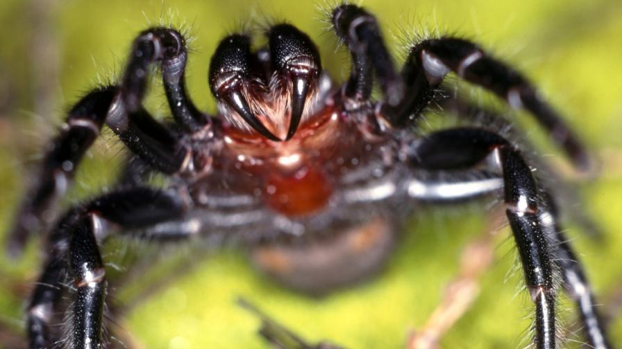 <p>Нова опасност в Австралия &ndash; смъртоносни паяци</p>