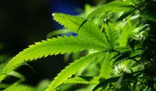 За и против легализирането на марихуаната