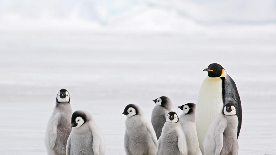 Учени: Езикът на пингвините напомня човешкото общуване