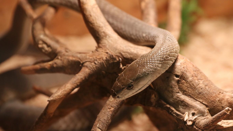 <p>Уникалния шанс на едно място да бъдат видяни най-отровните змии в България и света Музейко допълва с традиционната възможност за нови и задълбочени знания</p>