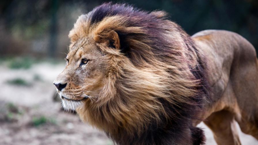 <p>Какво виждате на снимката:&nbsp;<strong>лъв или куче</strong></p>