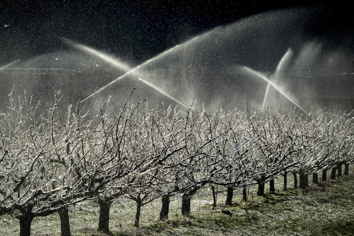 <p>Плодовите дървета се пръскат и с вода, за да се размразят, от падналите под нулата температури през студените пролетни нощи</p>